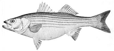 The striped bass is a diadromous species that exhibits anadromy